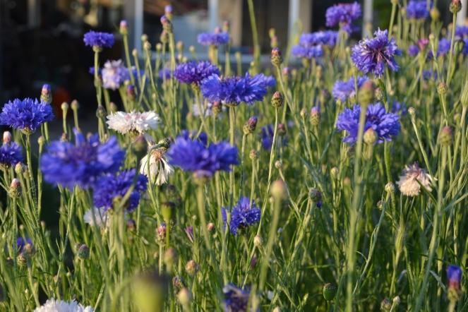 Så kom det! et orgie i blå blomster fyldte forhavens tidligere golde bakker. Kornblomsterne har overtaget bakkerne.