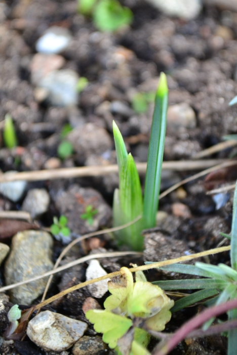 iris i januar