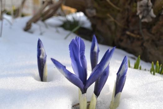 iris i starten af februar