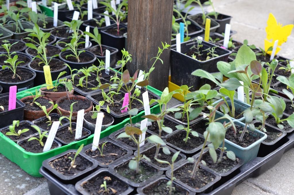Planterne står til afhærdning under et havebord for at vænne sig til udelivet.